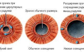 Диаметр зрачка мышца, расширяющая зрачок, и мышца, его сужающая
