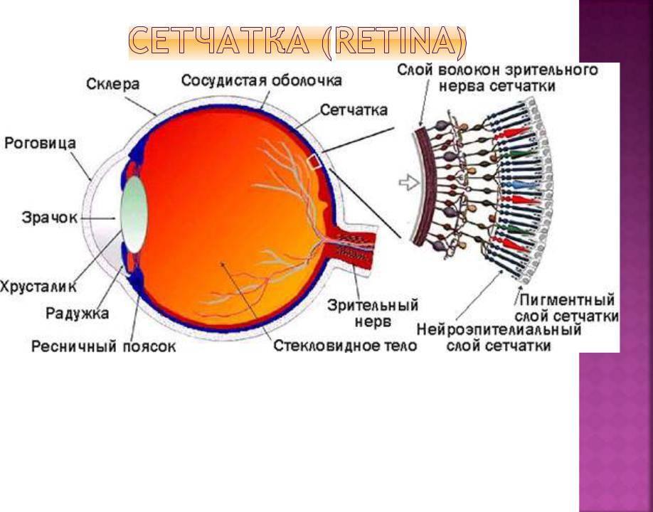 Немного о анатомии: сетчатка глаза, ее строение и функции