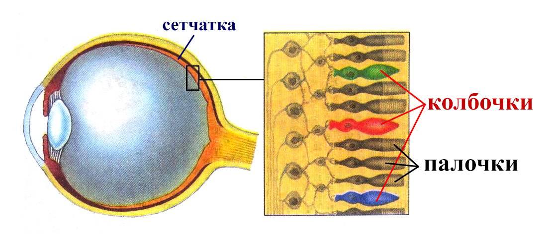 Колбочки и палочки сетчатки глаза - функции и строение