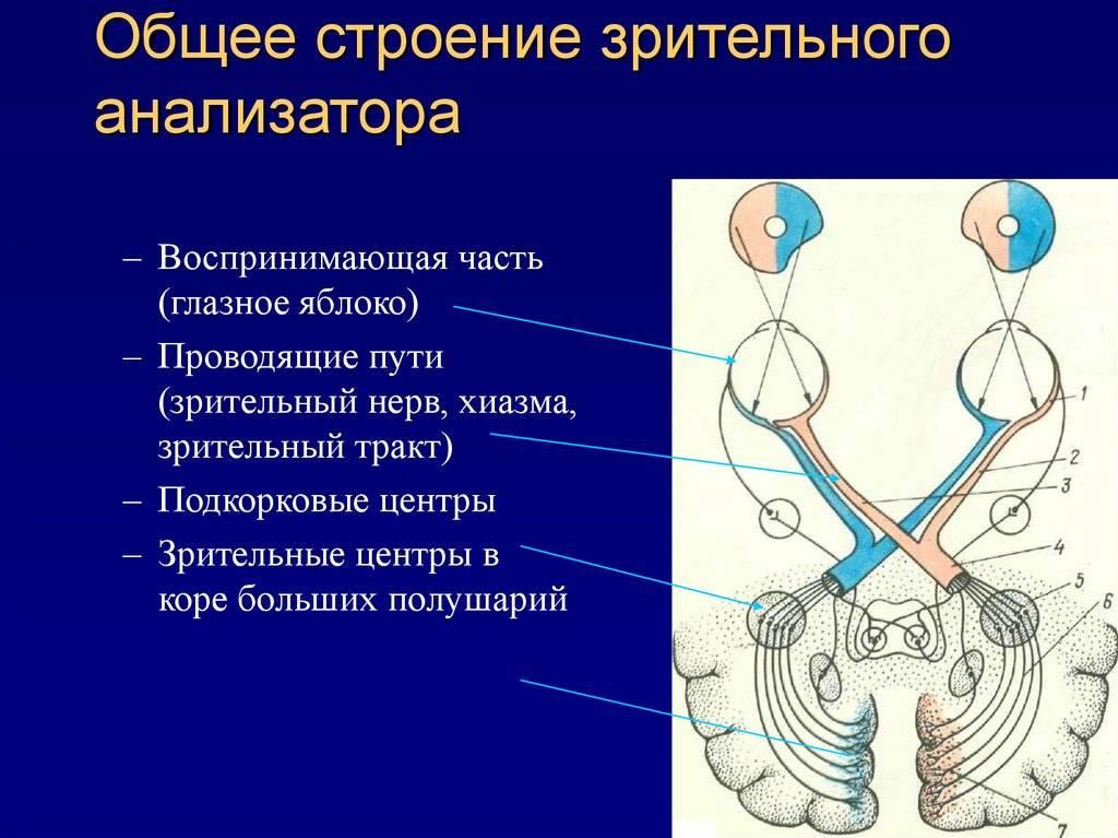 Зрительный нерв: строение, функции, заболевания и лечение