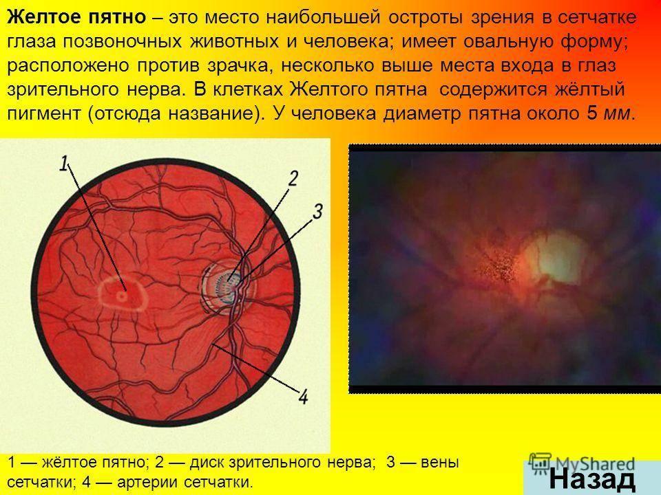 Слои сетчатки глаза и их функции
