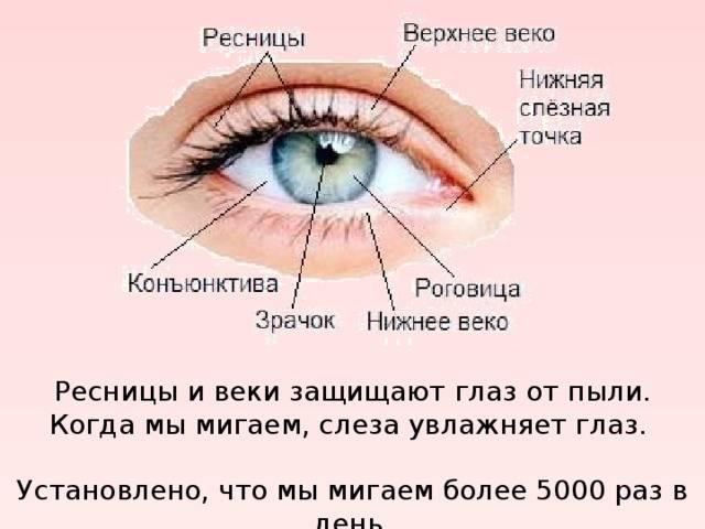 """Конъюнктива глаза: строение и функции - """"здоровое око"""""""