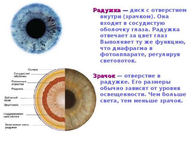 Глазное яблоко - размер, функции, какое строение имеет