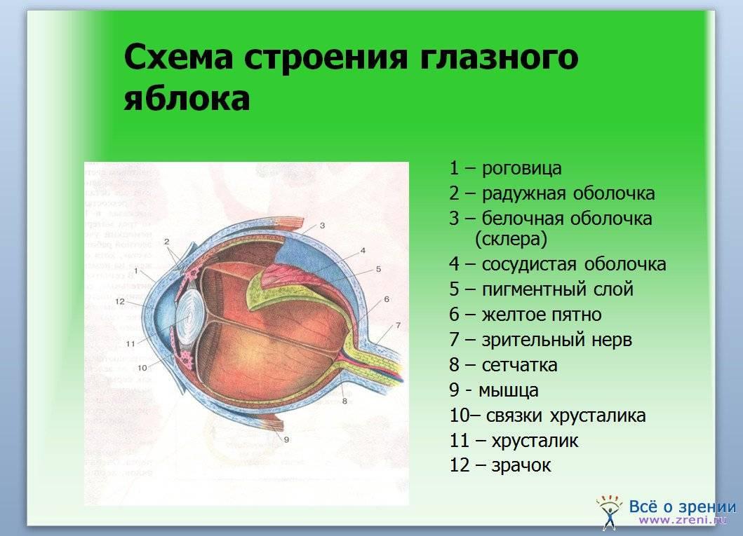 Орган зрения: строение глаза человека, функциональная анатомия, защита и патологии, заболевания