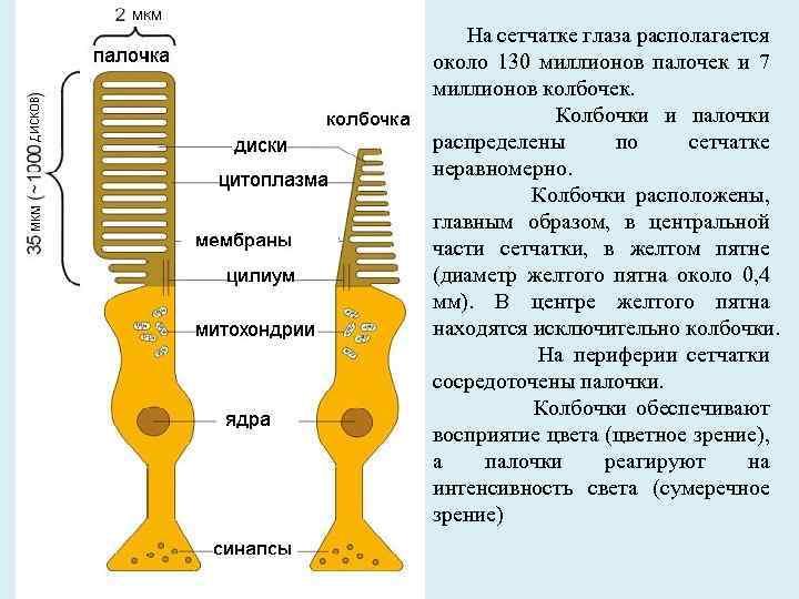 Распределение колбочек и палочек в сетчатке человека