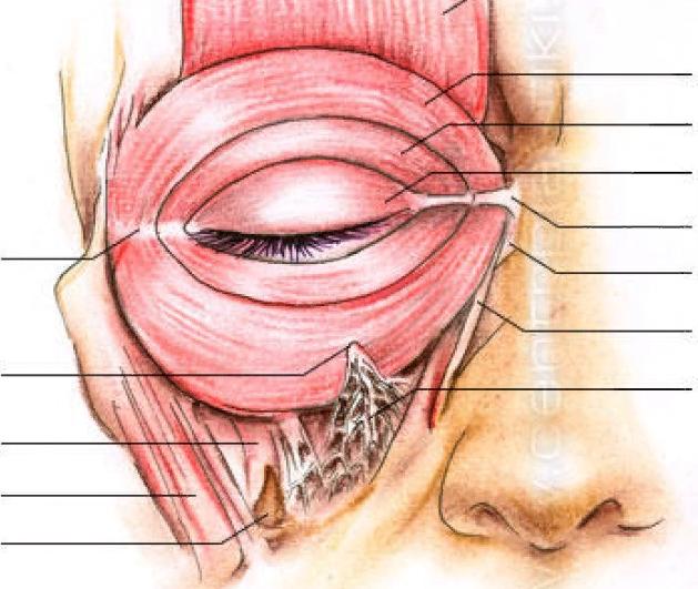 Мышцы глаза: анатомия, потенциальные проблемы и симптомы поражения мышечных волокон - я здоров