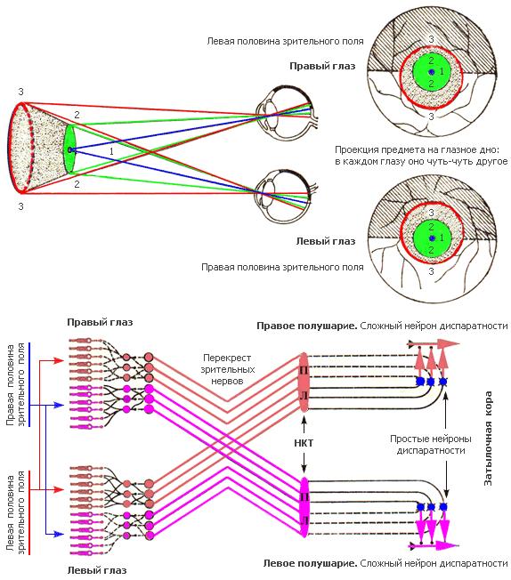 Бинокулярное зрение у человека - что это такое, как определить