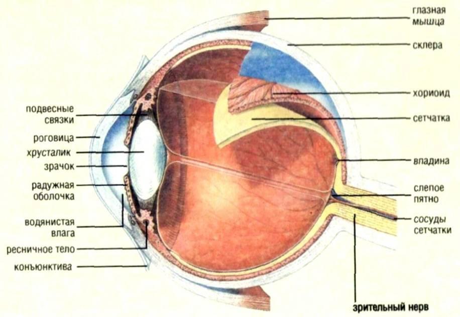 Оболочки глаза: строение, название, функции. строение глаза человека - sammedic.ru