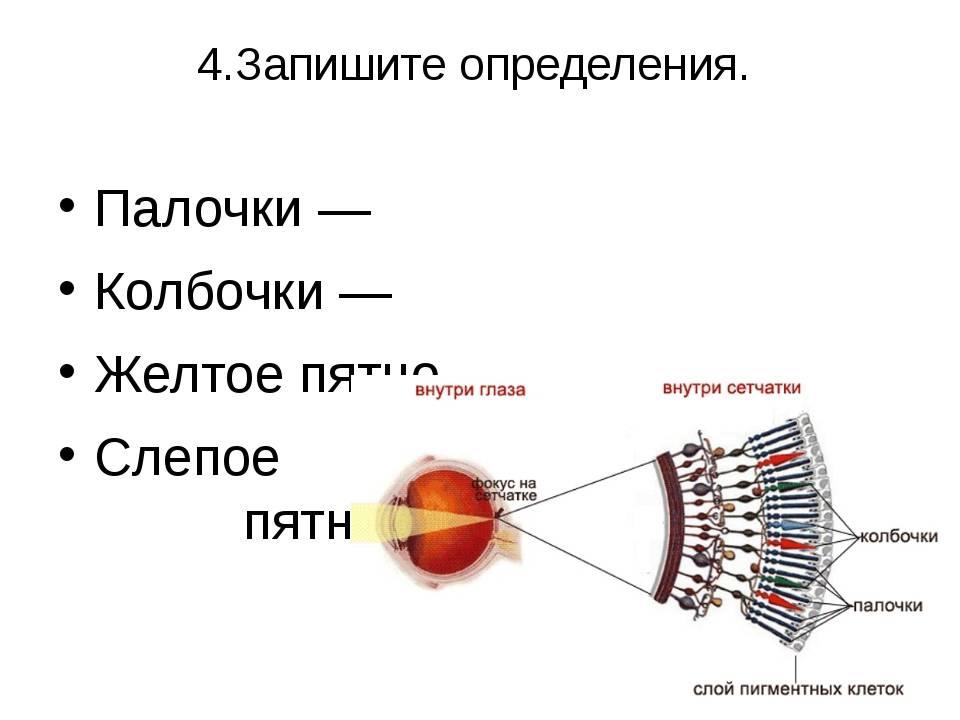 Палочки и колбочки сетчатки глаза: строение, функции- фото