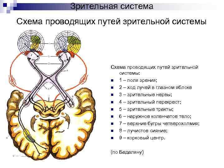 Глаз – строение человеческого органа внешнее и внутреннее, функции