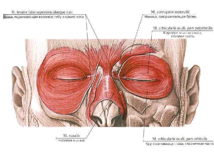Жевательные мышцы. места прикрепления и функции
