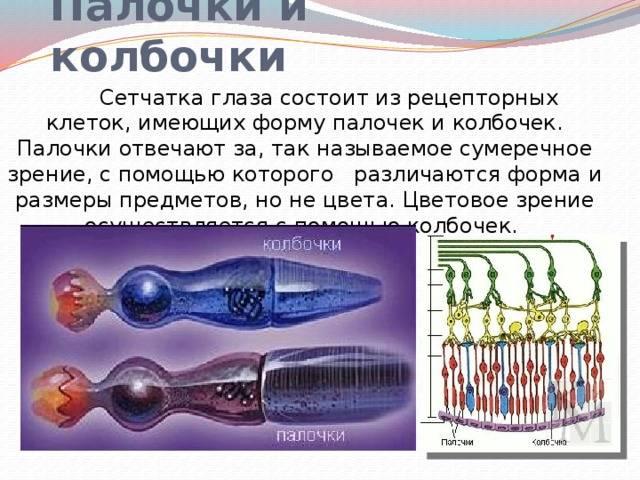 Палочки и колбочки сетчатки: строение и роль рецепторов