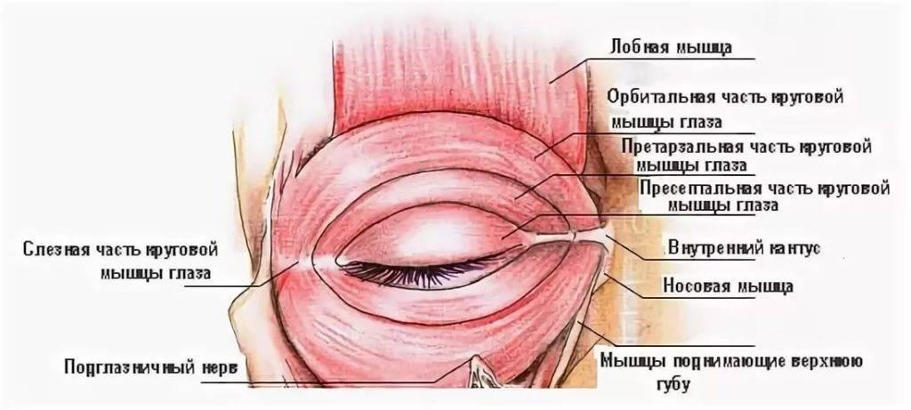 Какой нерв в верхнем веке. упражнение для мышцы, поднимающей верхнее веко, чтобы убрать нависшие верхние веки. какие железы продуцируют слезу