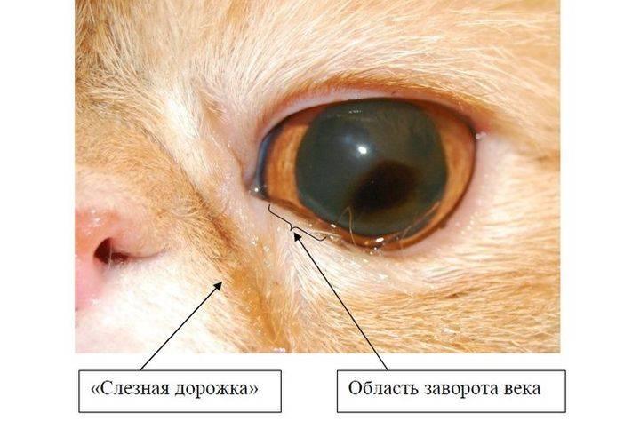 Заворот века у кошки: лечение без операции, меры профилактики заболевания