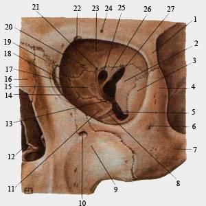 Глазница анатомическое строение стенки отверстия