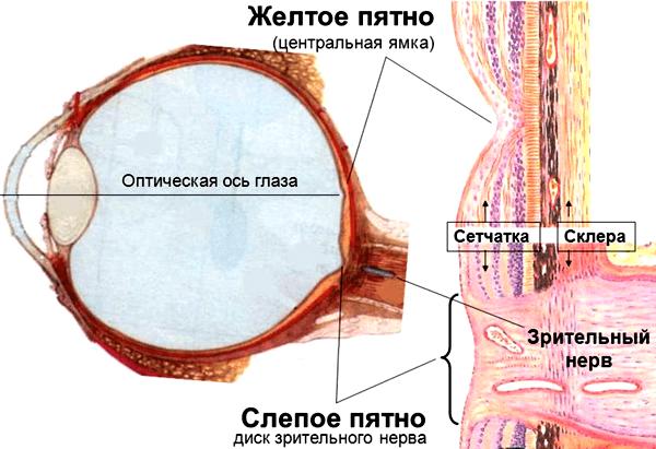 Слепое пятно глаза: строение, функции, симптомы и лечение