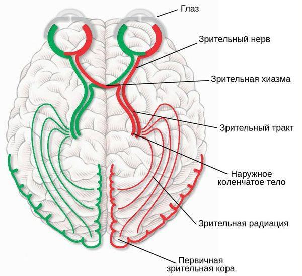 Зрительный нерв: анатомия и функции, как образован зрительный канал (схема), лечение заболеваний