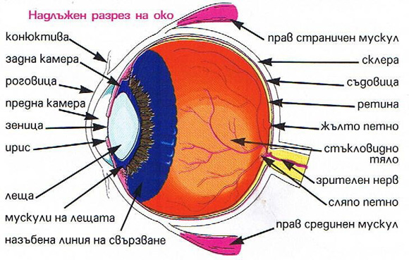 Строение (анатомия) глаза