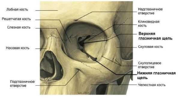 Глазница – анатомия и сообщение с полостью черепа