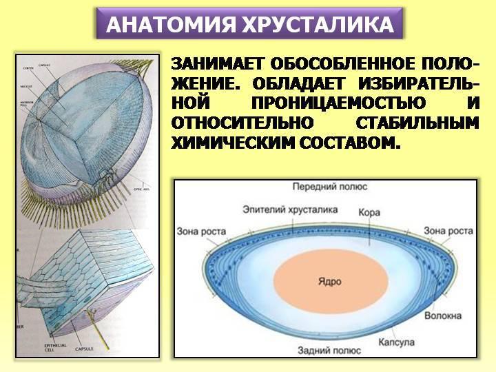 Сосудистая оболочка глаза: строение, функции, лечение