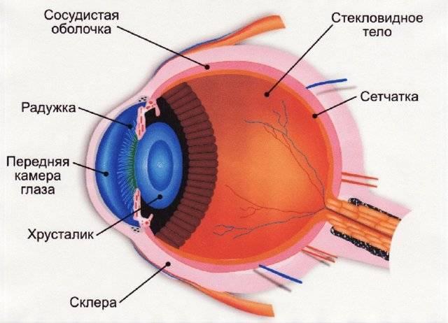 Функции склер глаз у человека и возможные патологии