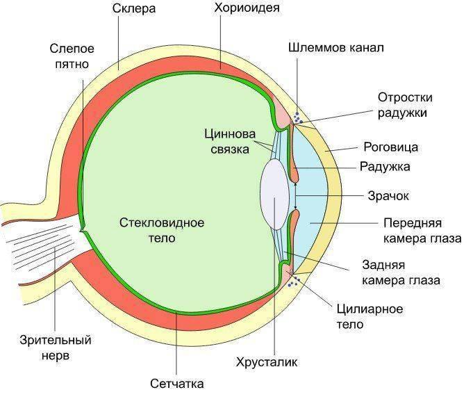 как устроено глазное яблоко
