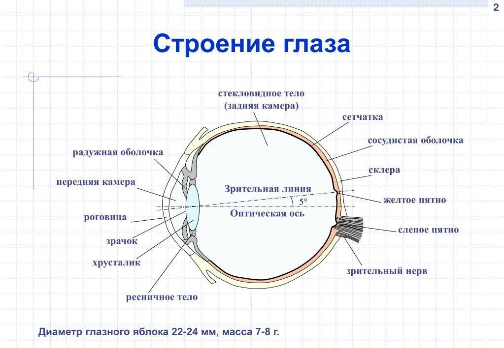 Зрачок глаза человека: строение, функции, лечение