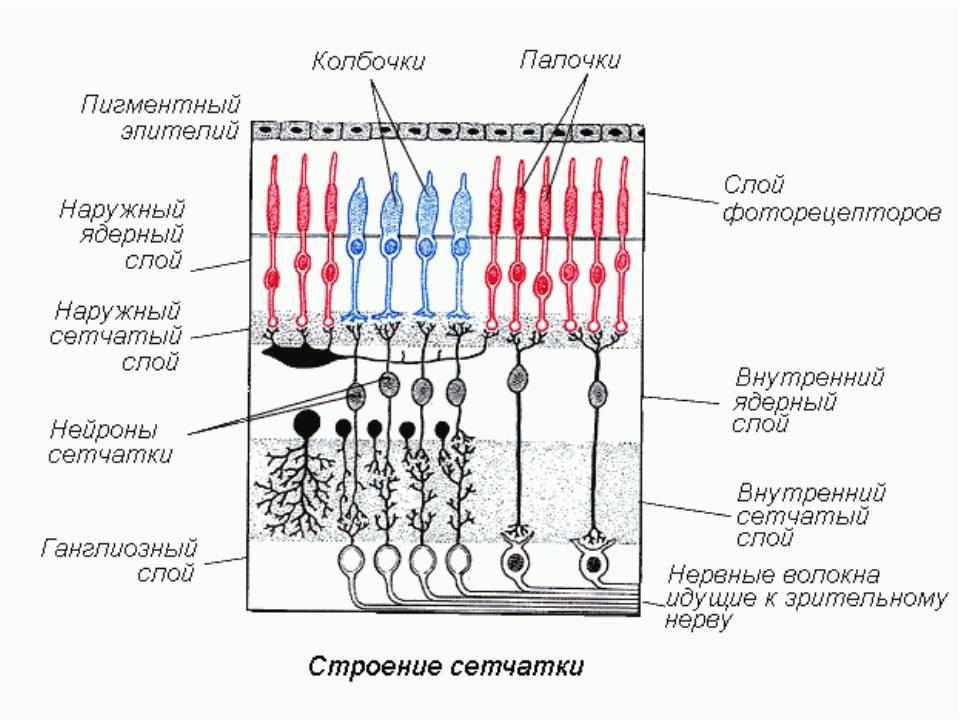 Палочки и колбочки сетчатки глаза строение и функции - медицинский справочник medana-st.ru