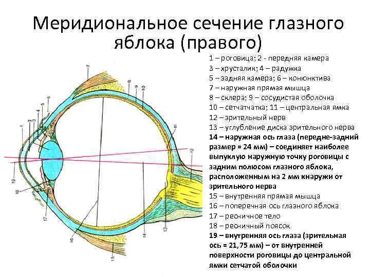 Строение и функции органов зрения человека. глазное яблоко и вспомогательный аппарат