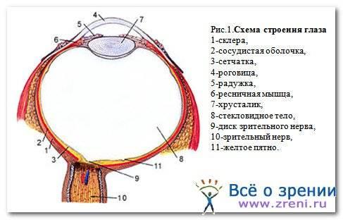Схема строения и принцип работы глаза человека