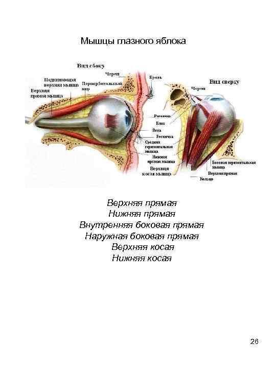 """Строение глаза: структура и описание - """"здоровое око"""""""