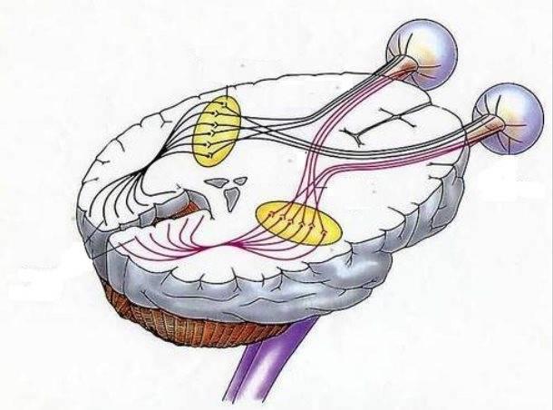 Строение и функции зрительного нерва