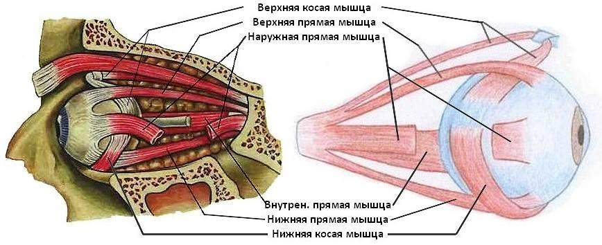 Мышца поднимающая верхнее веко название строение - медицинский справочник medana-st.ru