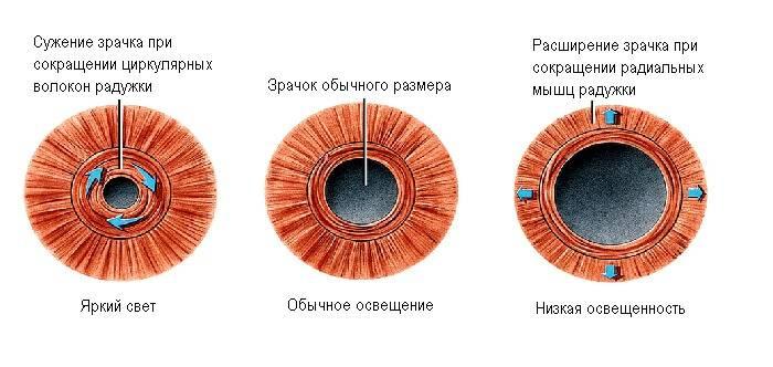 Суженные зрачки признак чего. что означает сужение и расширение зрачков? сигналы зрачков глаз