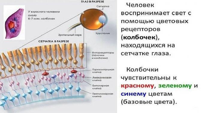 Зрительные рецепторы глаза