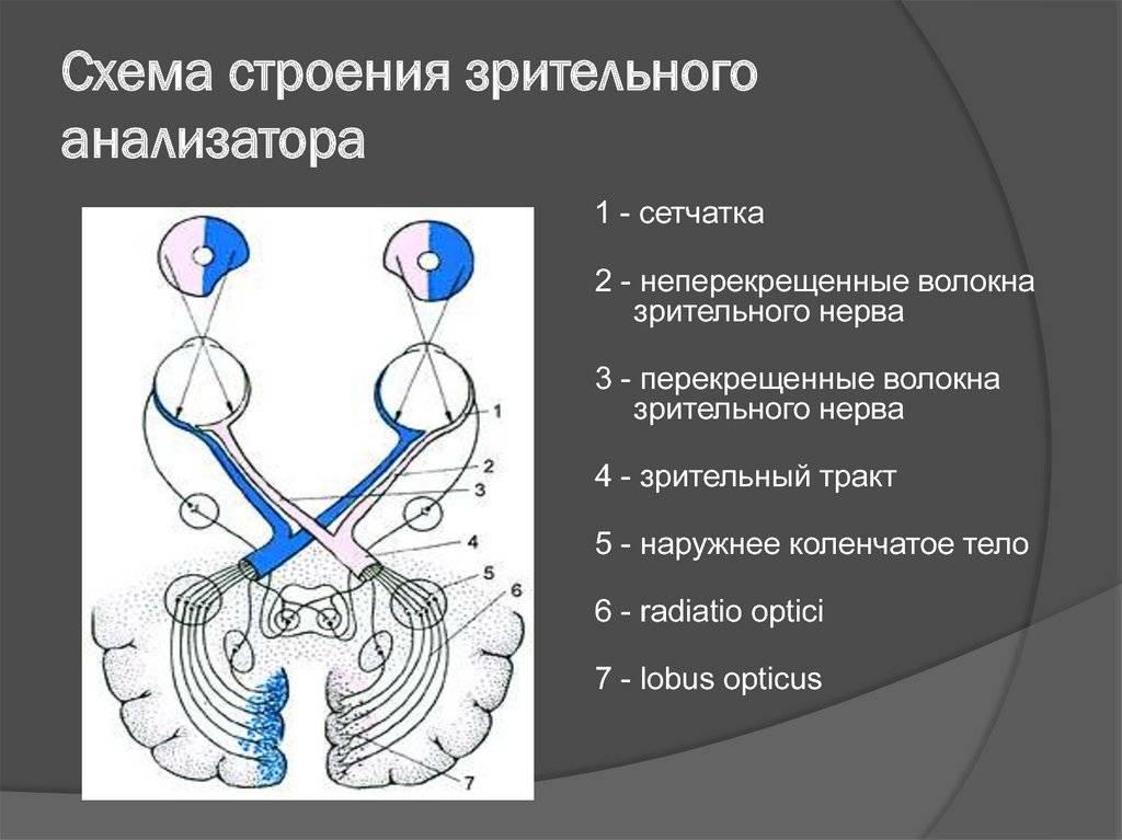 Обонятельный нерв (i): симптомы поражения. зрительный путь (ii): симптомы поражения на различных уровнях.