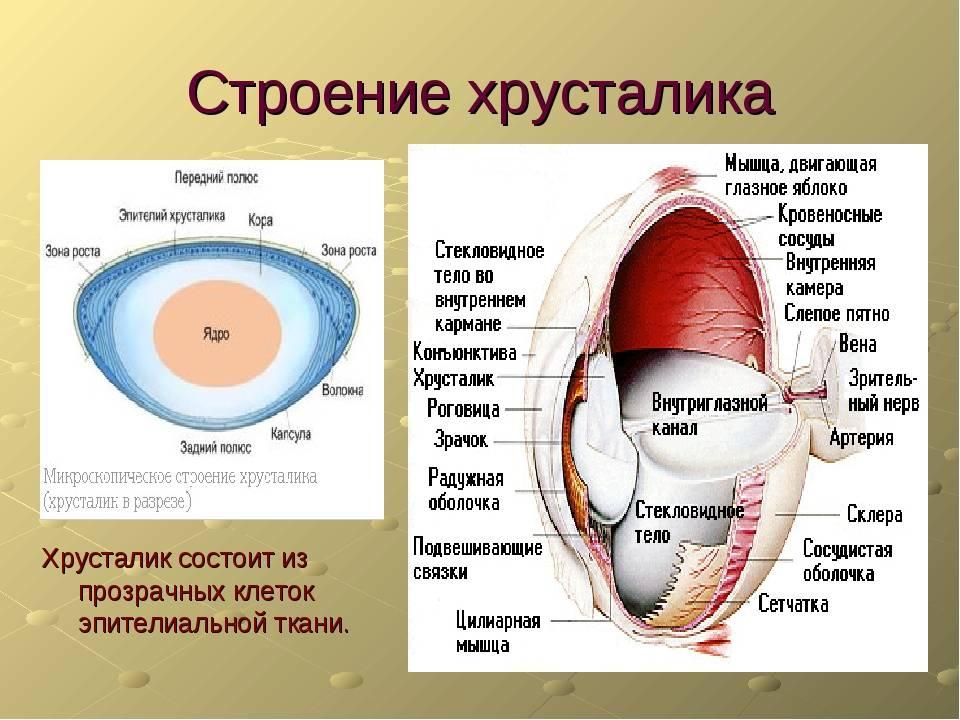 Сосудистая оболочка глаза: строение, функции, патологии oculistic.ru