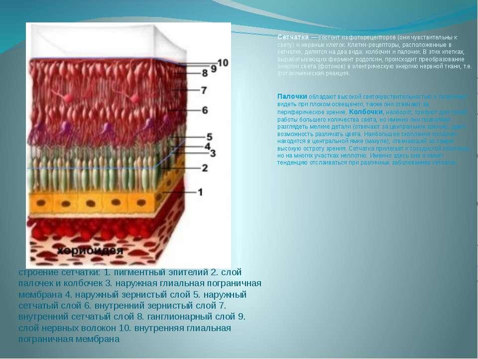 Палочки и колбочки сетчатки глаза: строение и функции