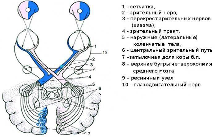 Зрительный нерв: функции, заболевания, лечение