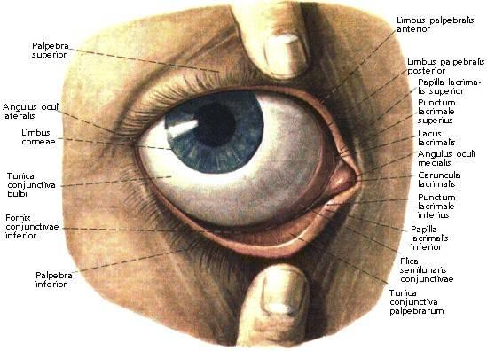 Веки глаза, все о глазных веках на портале vseozrenii.