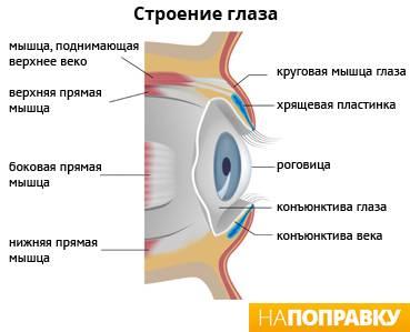 Мышца, поднимающая верхнее веко - перевод с латинского, функции и иннервация