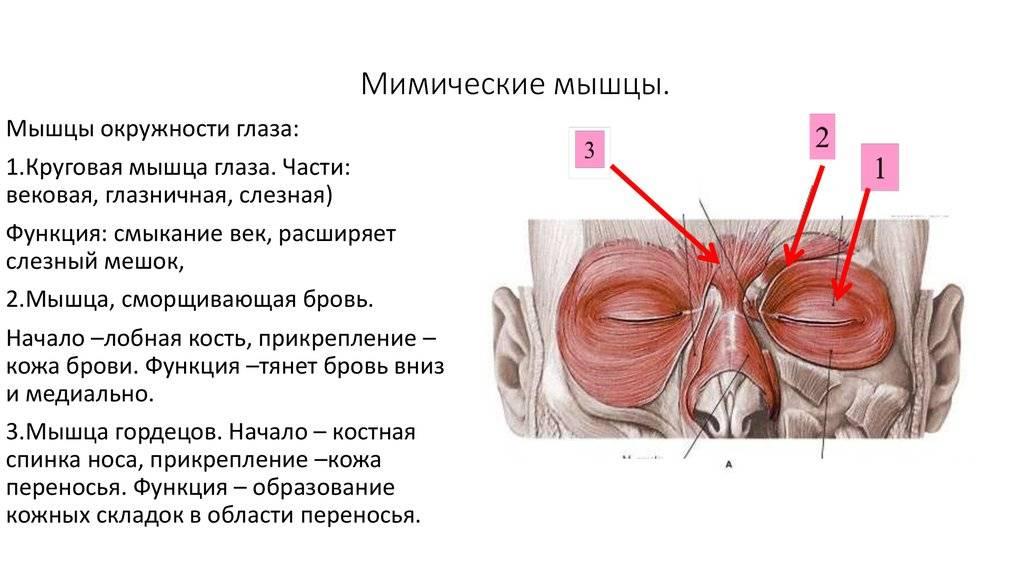 Оптическая система глаза и глазные мышцы - строение и свойства