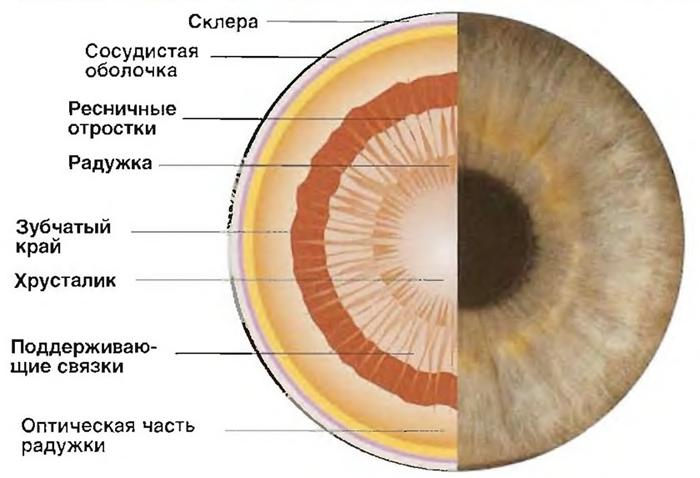 Причины изменения диаметра зрачков; мышца, расширяющая зрачок и мышца, его сужающая