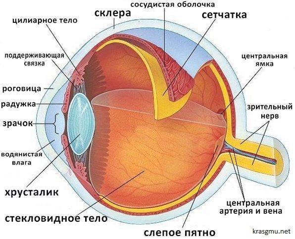 Глаз человека, схема и устройство глазного яблока