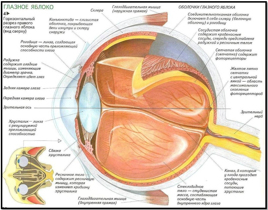 Строение глазного яблока и его функции