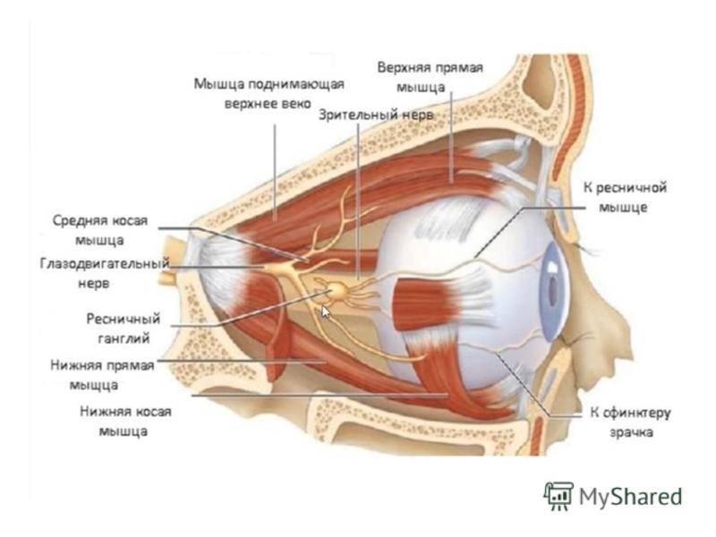 Анатомия глазницы: строение стенок, какие кости образуют, анатомия орбиты глаза oculistic.ru анатомия глазницы: строение стенок, какие кости образуют, анатомия орбиты глаза