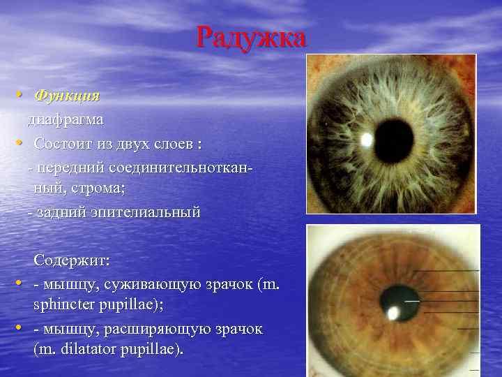 Радужка глаза человека | анатомия радужки глаза, строение, функции, картинки на eurolab