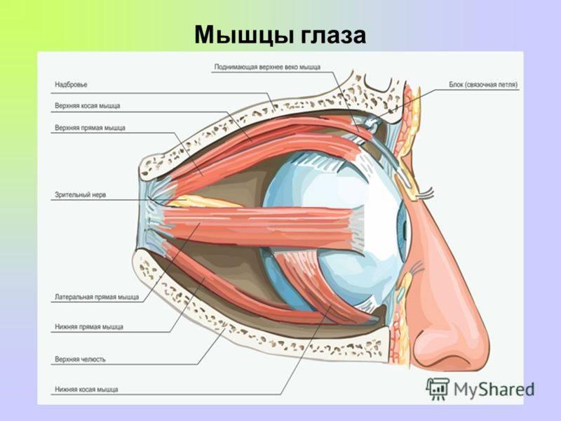 Глазные мышцы – строение и функции