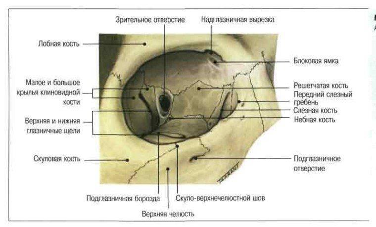Глазница - анатомическое строение, стенки, отверстия