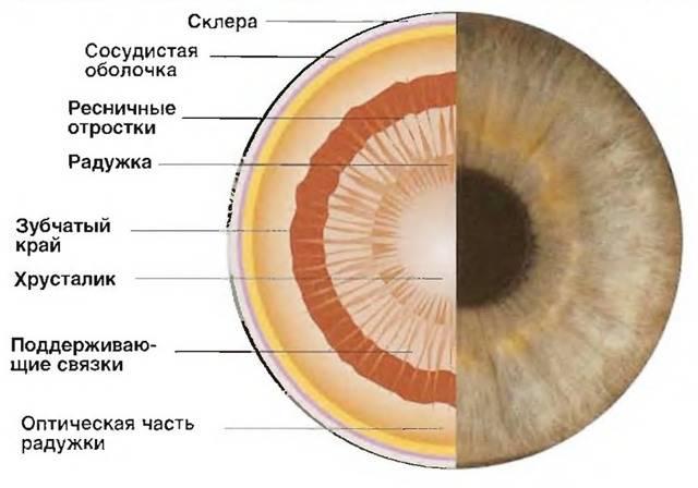 Анатомия глаза. строение глаза и функции его частей - sammedic.ru